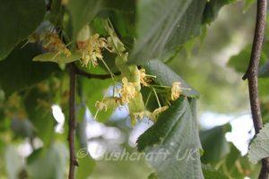 lime-flower